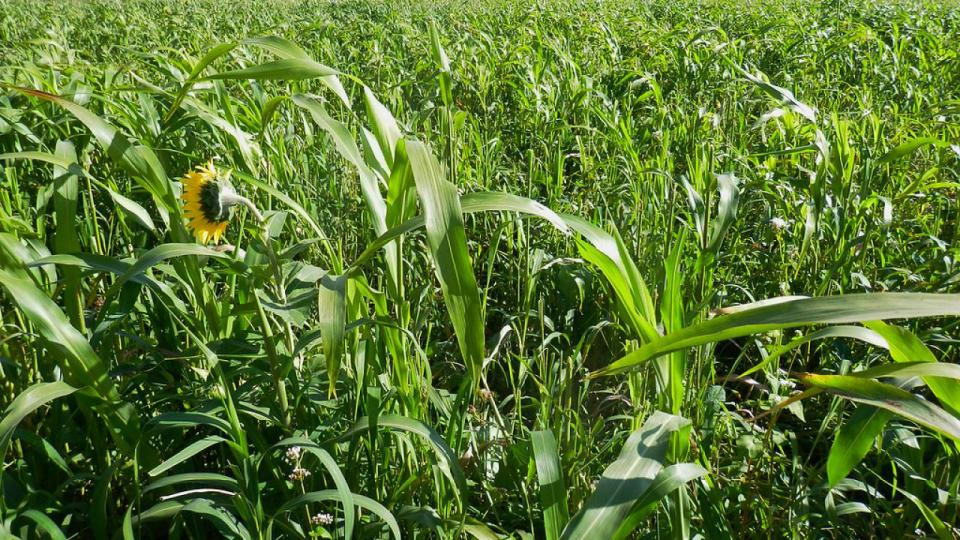 Field of forage crop
