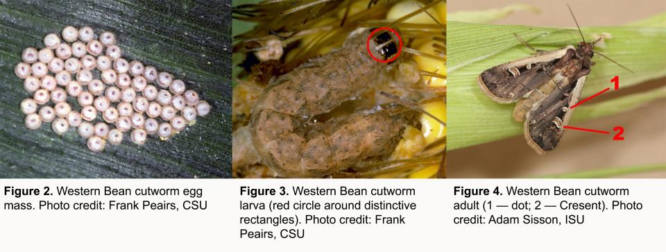 Western bean cutworm life stages