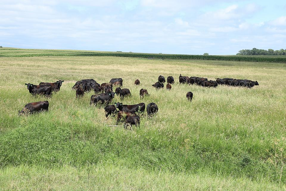 Cattle grazing pasture