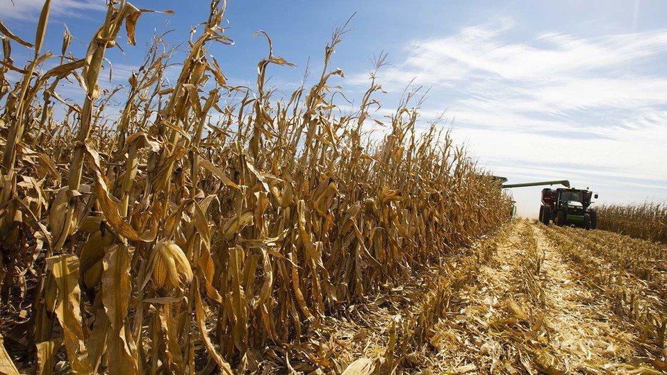 Combine harvesting corn in a field