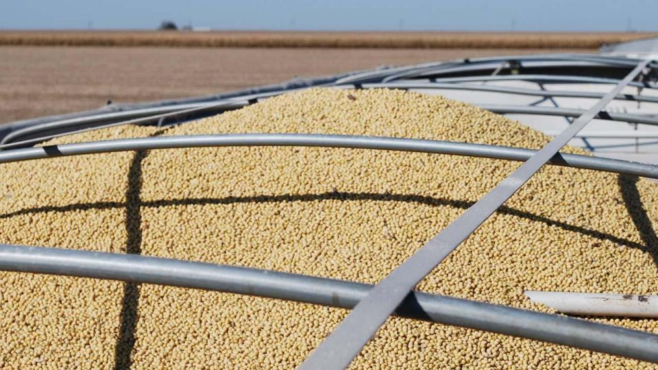 harvested soybeans in a grain trailer