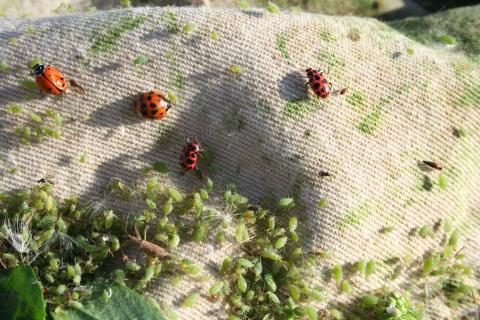 Biological control insects and alfalfa aphids
