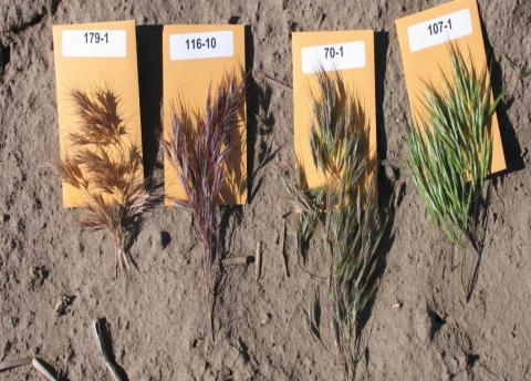 Figure 2. Cheatgrass seed heads (or panicles) as they mature. The panicles on the left are shattering, the second on the left is mature but not shattering, the two on the right are immature.