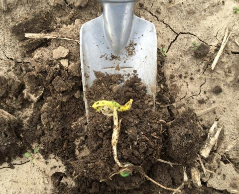 Corn leafing out below ground
