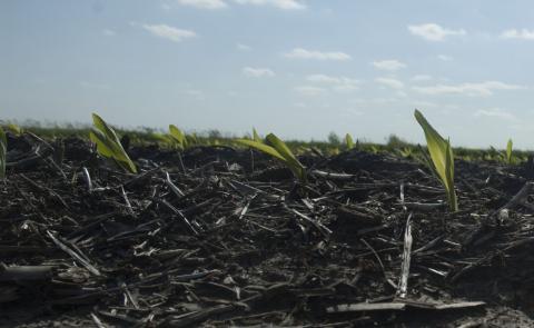 Yellowish corn seedlings