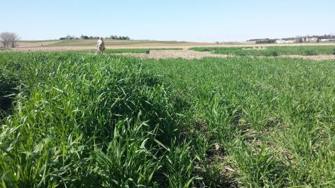 Field trials comparing early and late planted rye cover crop
