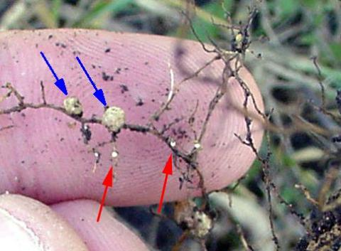 Soybean roots with smaller soybean cyst nematode (SCN) cysts (red arrows) and larger nitrogen nodules (blue arrows).