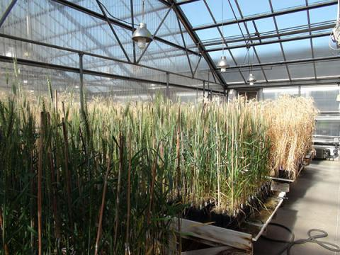 Learn more about genetics and plant breeding, such as shown here by the University of Nebraska-Lincoln's Department of Agronomy, in a 10-week online summer course designed for non plant breeders.
