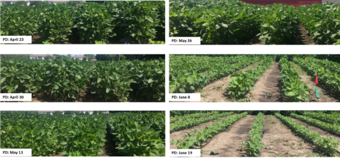 Photos of canopy closure based on various planting dates