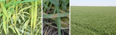 Photos of 3 wheat fields: with stripe rust, leaf rust, and healthy