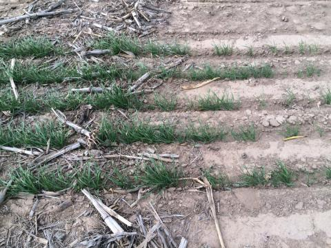 Wheat seedlings in residue-covered and bare soil plots