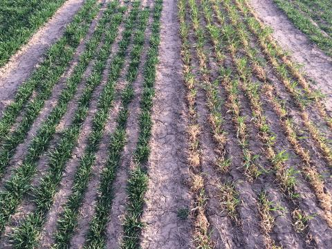 Wheat variety plots at Stumpf 2016
