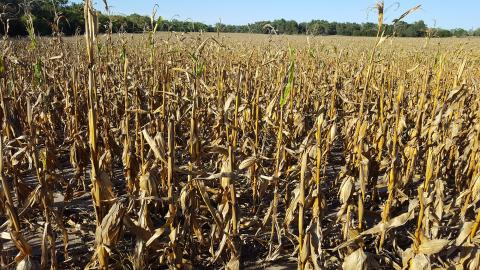 The tops of corn plants that have Anthracnose stalk rot top dieback may break off prior to harvest, but are not always an indicator of stalk and crown rot lower on the plant.