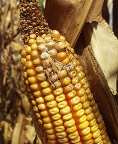 Tip dieback on corn