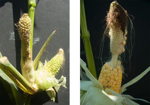 Malformed corn ears