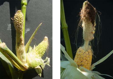 Malformed corn ears