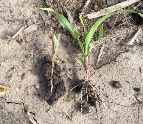 Corn seedling disease