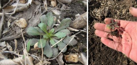 Figure 1. Marestail seedling growing in a no-till field. Due to its small size in the fall, pay special attention during scouting, especially in no-till fields where residue can hide seedlings.during scouting.