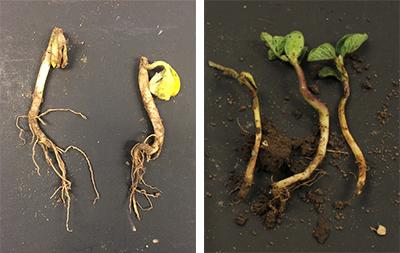 Soybean seedling damage