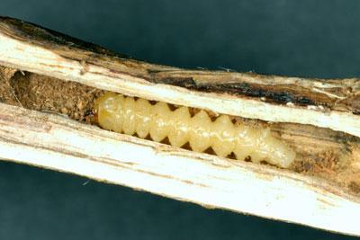 Soybean stem borer larva