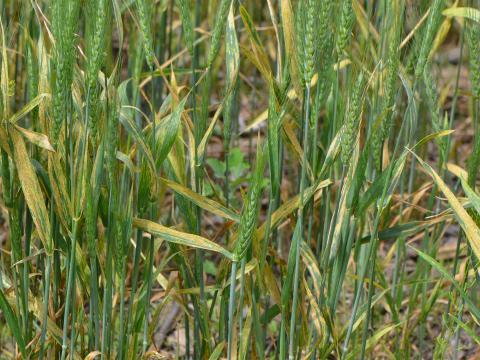 Severe stripe rust in wheat
