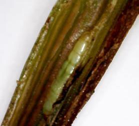 Wheat stem maggot in corn