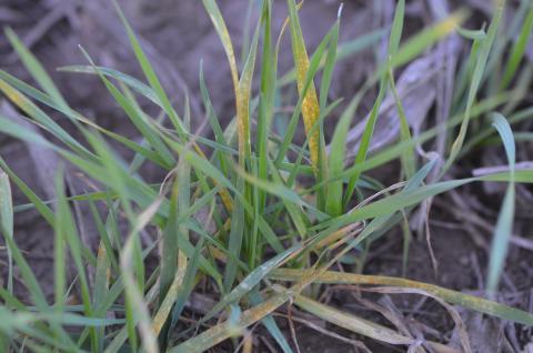 Fall occurrence of stripe rust in wheat