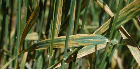 Stripe rust in wheat in the Nebraska Panhandle. (Photo by Bob Harveson)