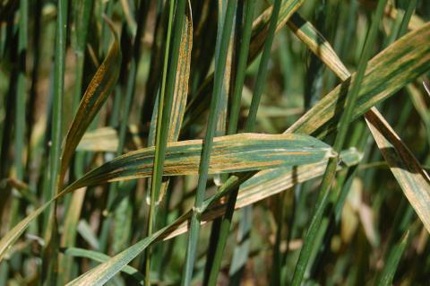 wheat stripe rust in the Panhandle