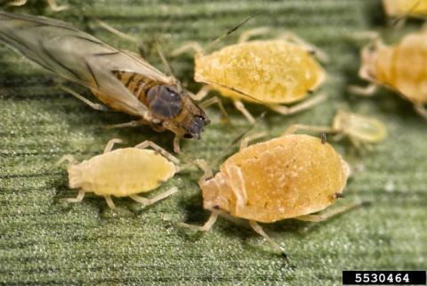 Yellow sugarcane aphid. (Photo by Patrick Porter, Texas Cooperative Extension, Bugwood.org)