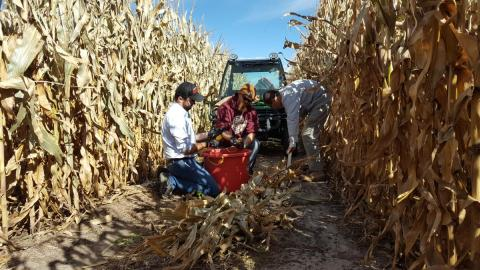Taking the corn stalk nitrate test in the field