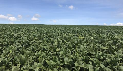 Soybean field in Brazil
