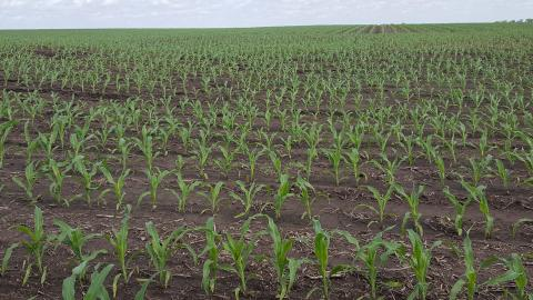 Corn field at V5 in Richardson County May 19.