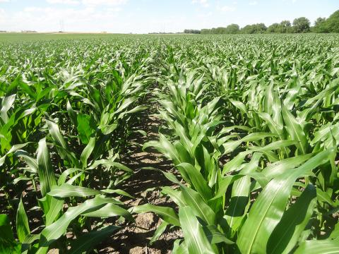 Corn at the Roger's Memorial Farm near Lincoln
