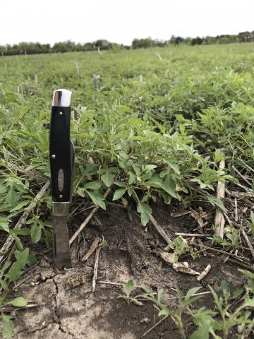 Field with giant ragweed at early treatment stage