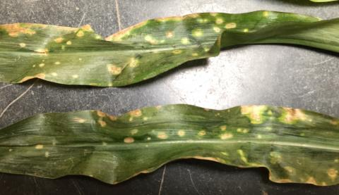 Severe holcus spot on corn leaves