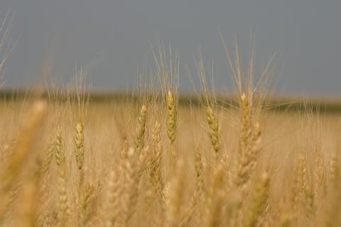 Field of wheat