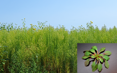 Marestail seedling and field infested with marestail
