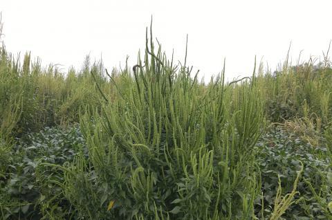 glyphosate-resistant Palmer amaranth