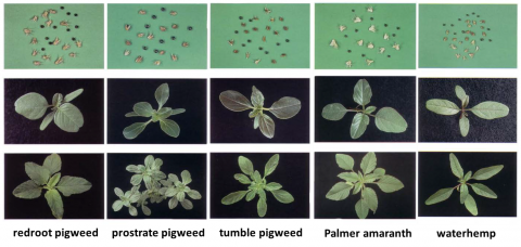 Photos of pigweed species