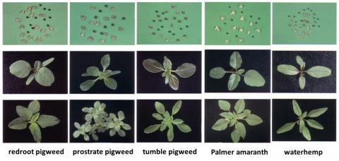 Photos of pigweed species