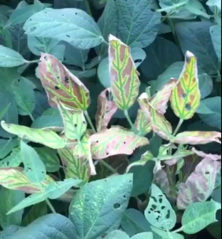 Sudden deaht syndrome in soybean