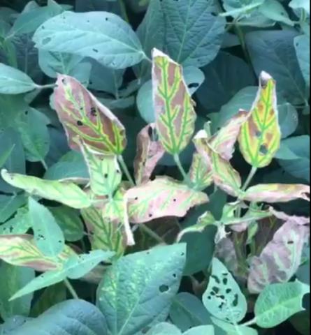Sudden deaht syndrome in soybean