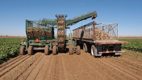 Sugar beet harvest in the Nebraska Panhandle 2015. Researchers are now studying opportunities for using sugar beets not processed for human consumption as a livestock feed. (Photo by Gary Stone)