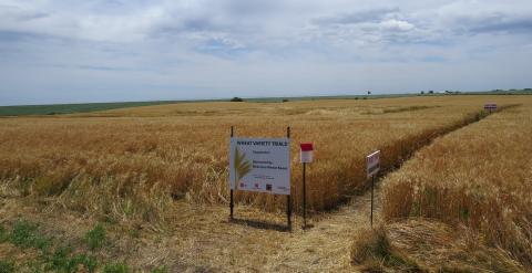 UNL winter wheat variety trial in a farmer field