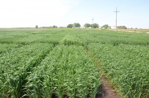 Wheat field near Mead, May 2017