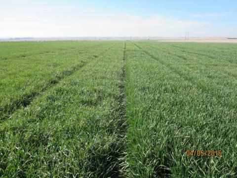 Figure 1.  Red Willow County winter wheat variety plot.