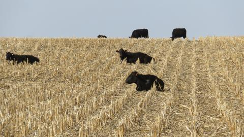 Cattle grazing in corn stalks