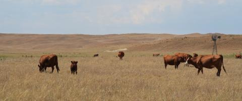 cattle grazing on drought damaged-pasture
