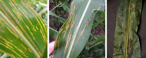 Bacterial leaf streak lesions
